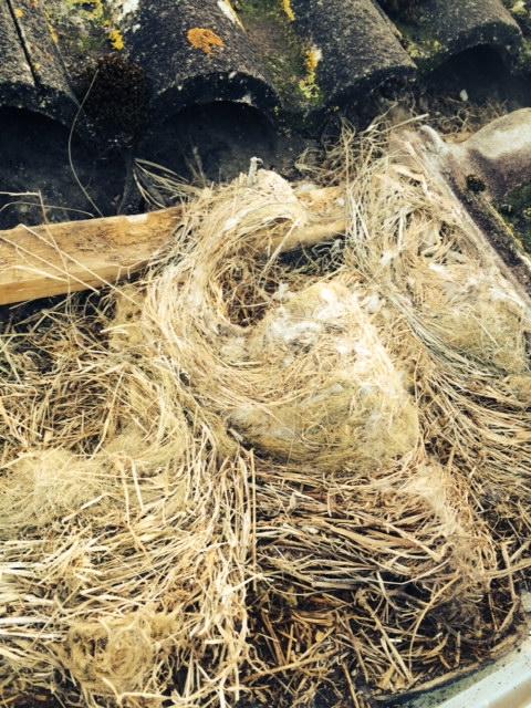 Birds nests under rotten felt