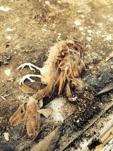 Dead bird amongst the debris on rotten roof felt before refit by Jones uPVC